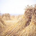 old_fashioned_harvest__day_359_by_escaped_emotions-d4254ui.jpg