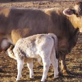 Braunvieh_cow_and_calf_of_Cois_Harman1.png