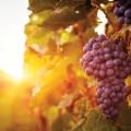 Grapes-615736640.jpg