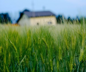 macro-green-wheat-field-house-wide.jpg