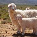 sheep_72363001(1).jpg
