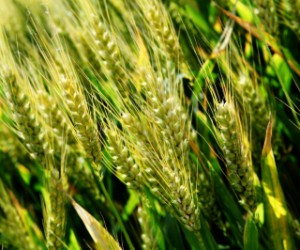 wheat .jpg
