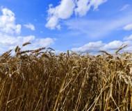 grain 2.jpg